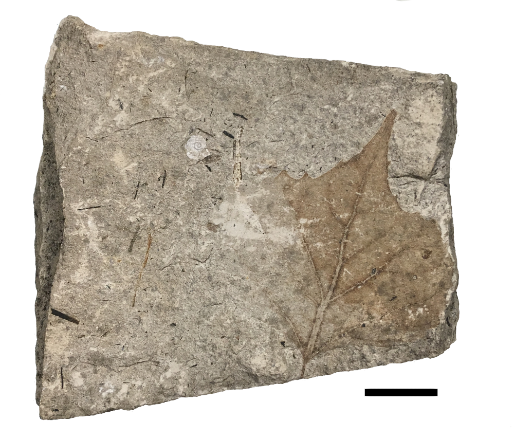 Maple leaf, Cenozoic.